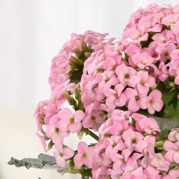 Kalanchoe in Rosa mit Piccolo Happy Birthday