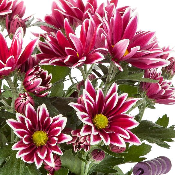 Chrysantheme Ciao mit Hachez Zum Geburtstag