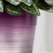 Alpenveilchen in Pink im Keramik-Übertopf
