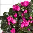 Azalee in Pink im Keramik-Übertopf
