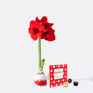 Amaryllis No-Water in Rot mit Hachez Frohes Fest