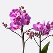 Orchidee in Pink mit Lindt Mini Pralinés