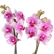 Orchidee in Rosa mit Tafelgut Tee Für Dich