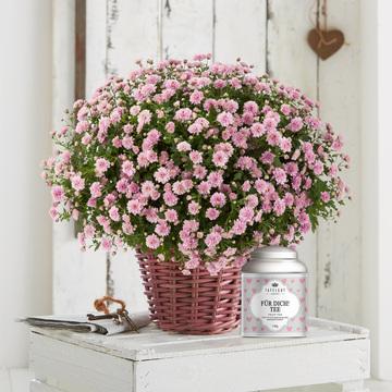 Chrysantheme in Rosa mit Tafelgut Tee Für Dich
