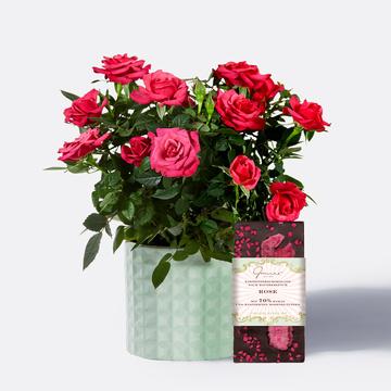Topfrose mit Schokolade mit kandierten Rosenblättern