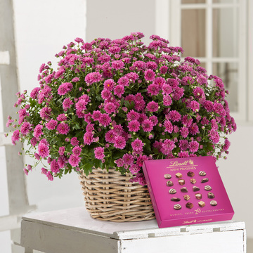 Chrysantheme in Violett mit Lindt Mini Pralinés