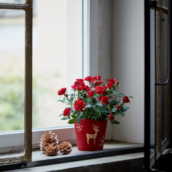 Topfrose in Rot mit Übertopf