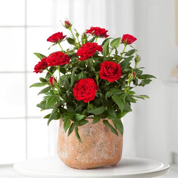https://static.blume2000.de/pictures/101565/022_Topfrose-in-Rot-im-Handmade-Pot-in-Terrakotta.jpg
