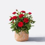 Topfrose in Rot mit Handmade Pot in Terrakotta