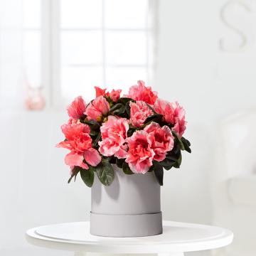 Azalee in Pink mit Hutschachtel