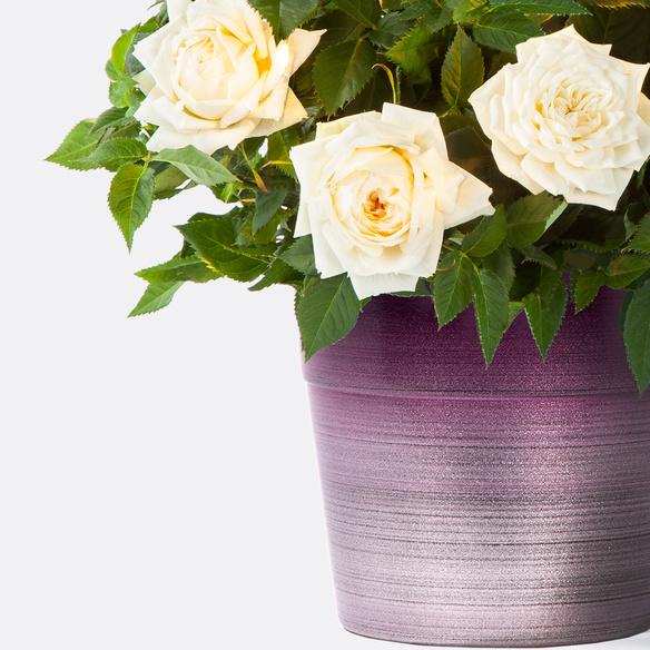 Topfrose in Cremeweiß mit Keramik-Übertopf
