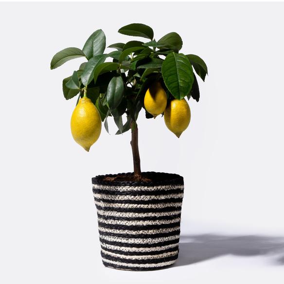 Zitronenbaum mit Korb