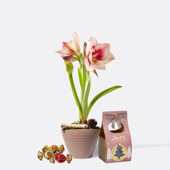 Amaryllis Apple Blossom mit Lindt Süsse Grüsse