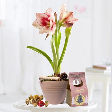 Amaryllis Apple Blossom mit Lindt süße Grüsse
