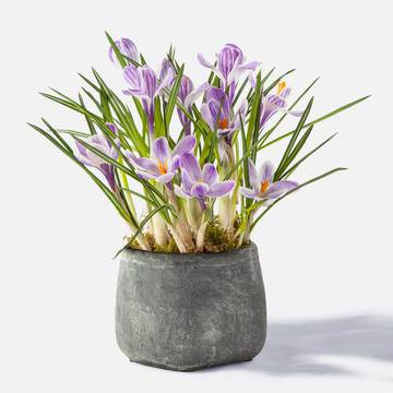 Krokus mit Handmade Pot in Anthrazit