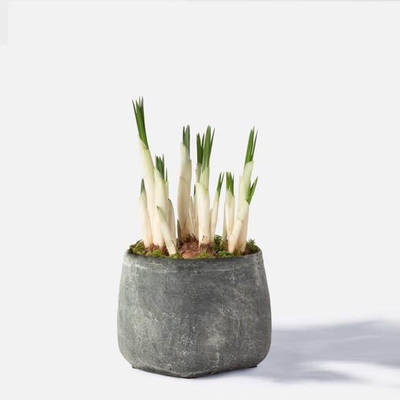 Krokus mit Handmade Pot in Anthrazit