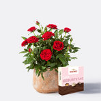 Topfrose in Rot mit Hachez Zum Geburtstag