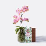 Phalaenopsis mit Luftwurzeln mit Schokolade Schön, dass es Dich gibt