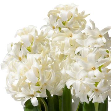 Hyazinthe in Weiß mit Übertopf mit Knusperkugeln mit Haselnusskern