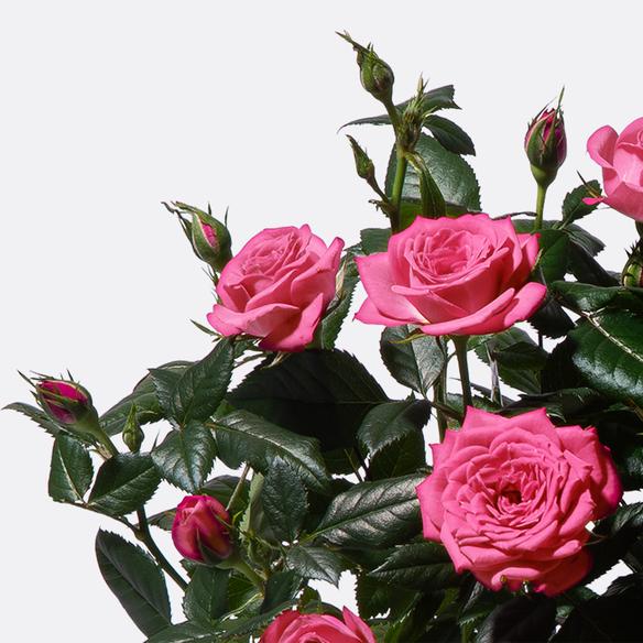Topfrose in Pink mit Übertopf