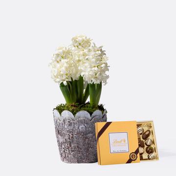 Hyazinthe in Weiß mit Lindt Mini Pralinés Gold-Edition