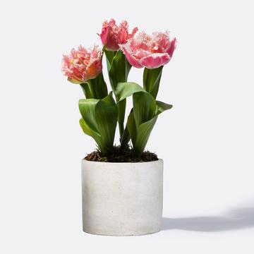 Tulpe in Rosa mit Keramik Übertopf