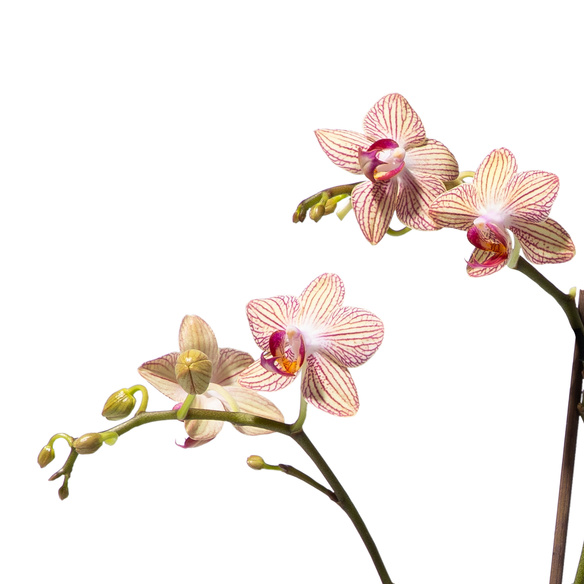 Orchidee mit Kolibri-Übertopf mit Himbeerküsse