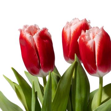 Tulpe in Rot mit Motiv-Übertopf mit Niederegger Marzipan Herzen