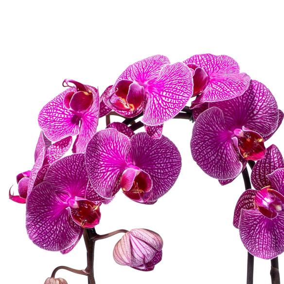 Orchidee in Lila mit Übertopf mit Lindt Lindor Herz ...