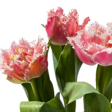 Tulpe in Rosa mit Keramik Übertopf mit Hachez Zum Geburtstag