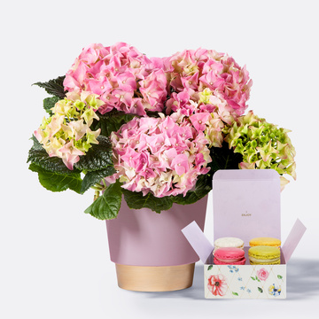 Hortensie in Rosa mit Übertopf mit Feinen Macarons in Flowerbox