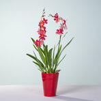 Duft-Orchidee in Rot mit Übertopf