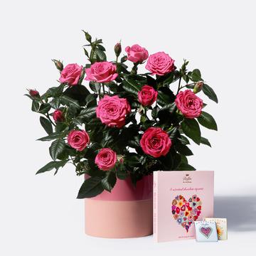 Topfrose in Pink mit Übertopf mit 9 gemischten Mini Schokoladentafeln