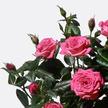 Topfrose in Pink mit Übertopf mit Schokolade mit kandierten Rosenblättern