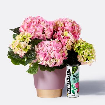 Hortensie in Rosa mit Übertopf mit Pflanzennahrung