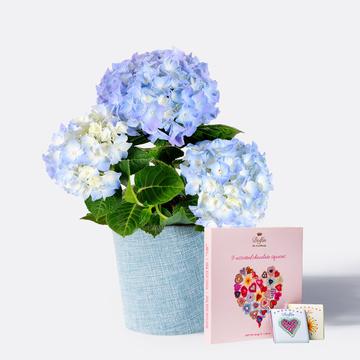 Hortensie in Blau mit Übertopf mit 9 gemischten Mini Schokoladentafeln