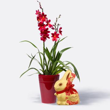 Duft-Orchidee in Rot mit Übertopf mit Lindt Goldhase Blumen Edition