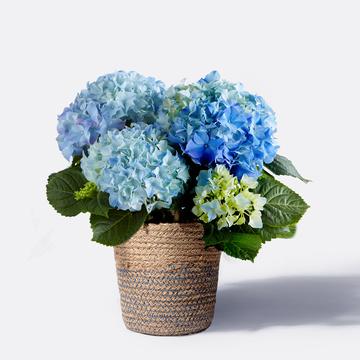 Hortensie in Blau mit Korb