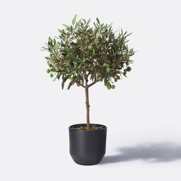 Olivenstamm mit Outdoor-Übertopf