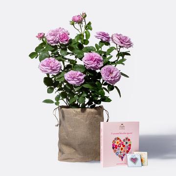 Strauchrose in Violett mit Jutesack mit 9 gemischten Mini Schokoladentafeln