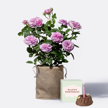 Strauchrose in Violett mit Jutesack mit Geburtstagsküchlein mit Kerze