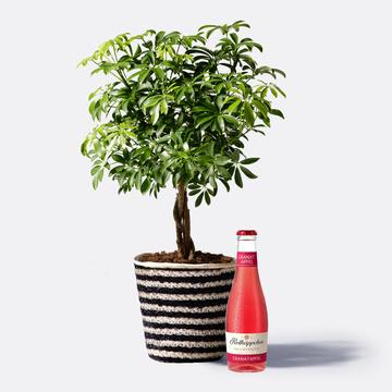 Schefflera mit Korb mit Granatapfel Fruchtsecco