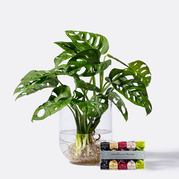 Monstera Monkey Leaf Water Plant mit Glasvase mit Tartufini