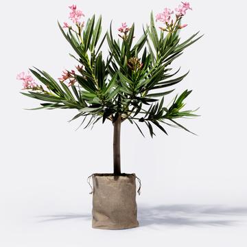 Oleanderstamm mit Jutesack