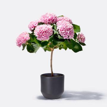 Hortensienstämmchen Magical in Rosa mit Keramik-Übertopf