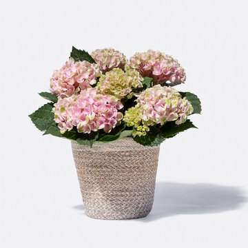 Hortensie Magical Revolution® in Rosa mit Korb