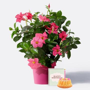 Dipladenia in Pink mit Sommer Geburtstagsküchlein mit Kerze