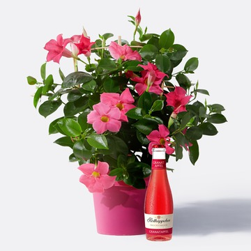 Dipladenia in Pink mit Granatapfel Fruchtsecco