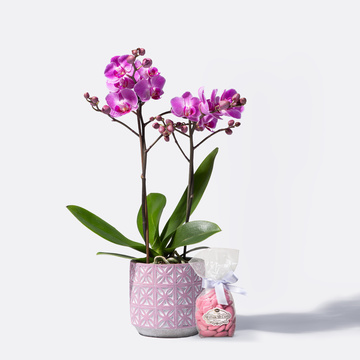 Orchidee in Pink mit Keramik-Übertopf mit Dragierten Sommermandeln