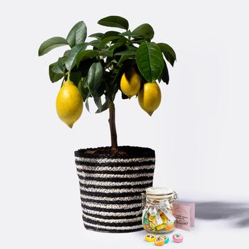 Zitronenbaum mit Korb mit Sommerlichen Fruchtbonbons